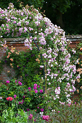 Rosa 'Laure Davoust'  growing over metal arch in the walled rose garden at Mottisfont