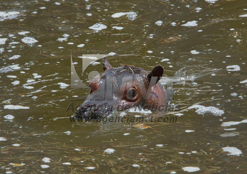 """Calimaya, México.- En el Zoológico de Zacango se llevo a cabo la premiación del concurso  """"Ponle nombre la hipopótamo"""" en donde participaron más de 100 niños de entre 6 y 12 años de edad;   Karla Alamilla fue la ganadora y propuso el nombre de """"Calyzoo"""", por el cual se conocerá al integrante más pequeño de los hipopótamos. Agencia MVT / Crisanta Espinosa"""