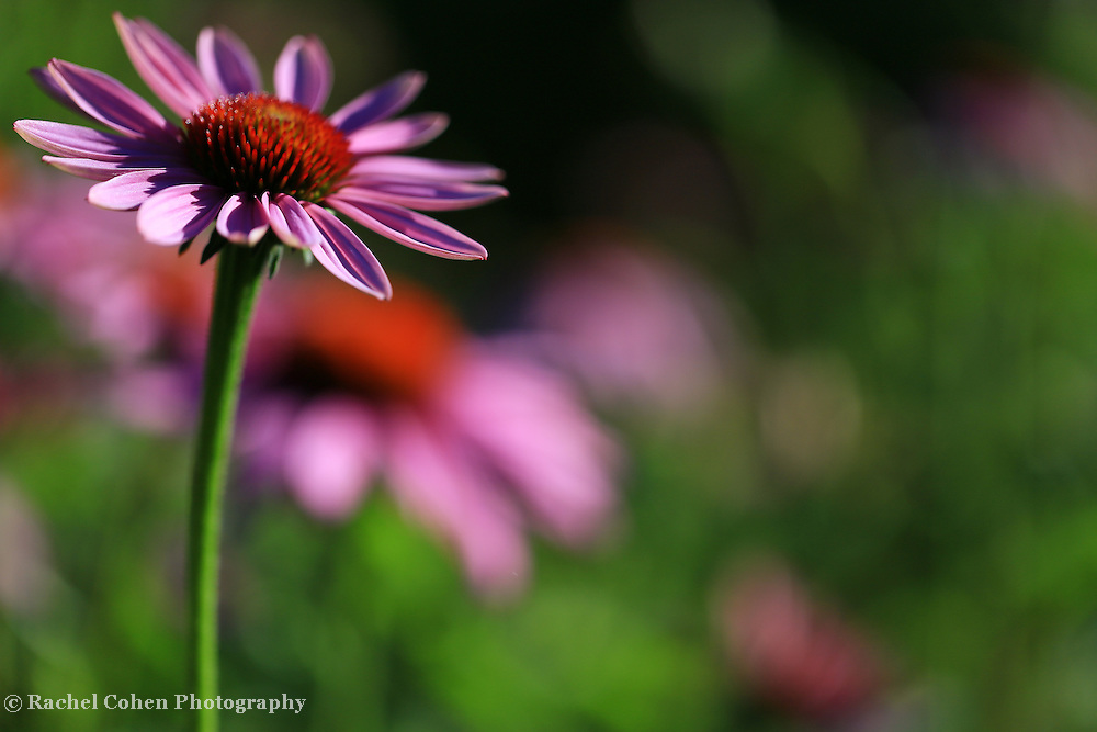 """""""Purple Coneflower Dream""""<br /> <br /> Beautiful and dreamy Purple Coneflowers in the Matthaei Botanical Garden in Ann Arbor Michigan!!<br /> <br /> Flowers and Wildflowers by Rachel Cohen"""