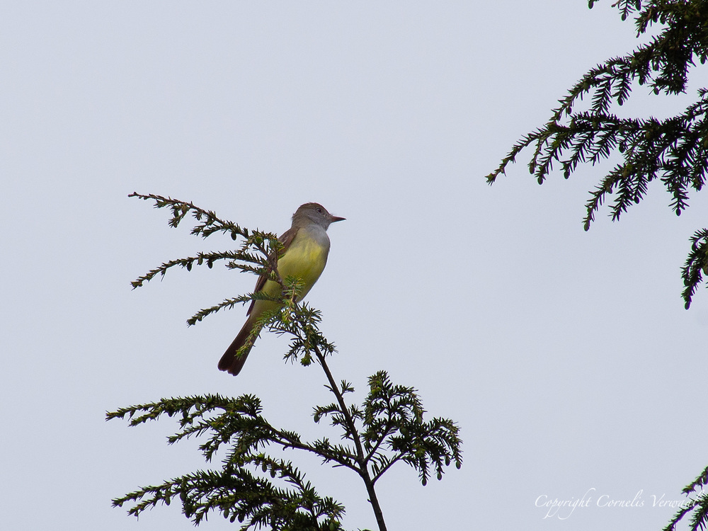 A Great Crested Flycatcher near Shakespeare Garden in Central Park.