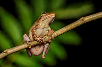 Brown tree frog, Polypedates megacephalus, is a species in the shrub frog family (Rhacophoridae). Shek Pik (Chinese: 石壁), southwestern coast of Lantau Island, Hong Kong, China.<br /> This Image is a part of the mission Wild Sea Hong Kong (Wild Wonders of China).