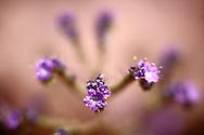 Lace-Leaf Phacelia, Fat-Leaf Phacelia, Phacelia distans benth