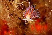 Nudibranch (Cratena peregrina) | Nacktkiemer (Cratena peregrina)