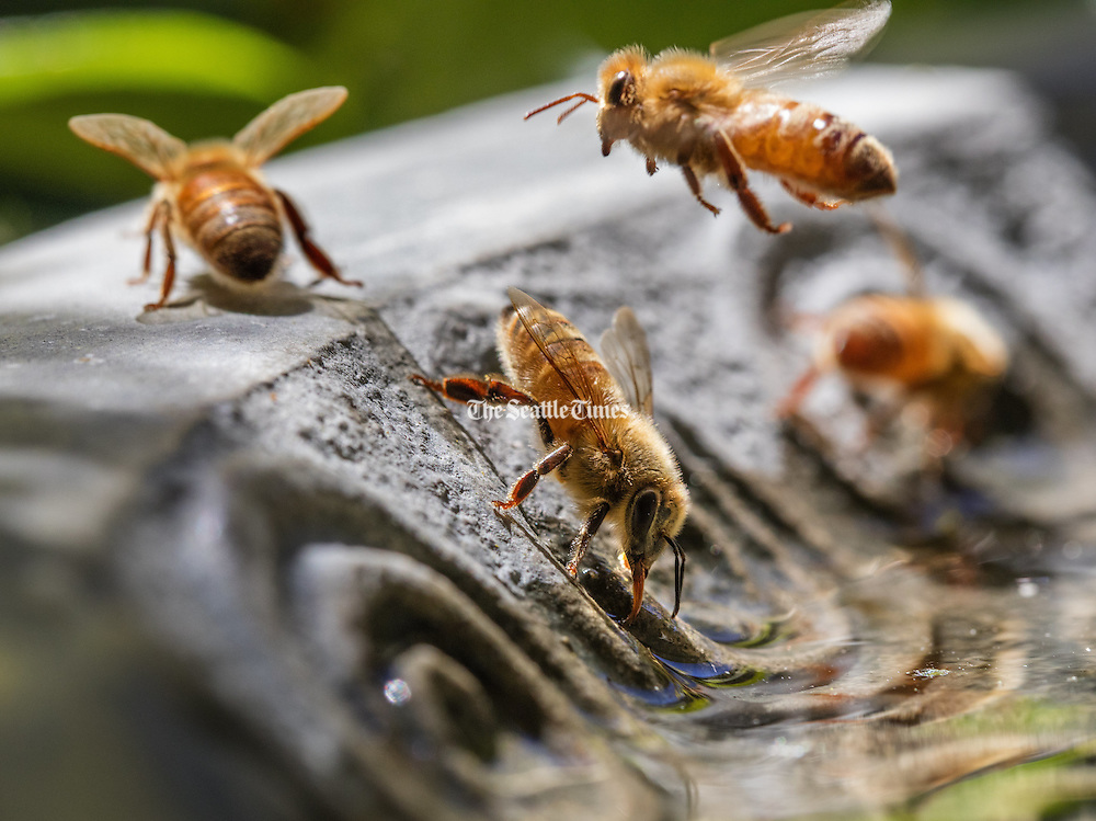 Water-collecting bees will make multiple flights for the good of the hive. Each bee can carry only about 50 micrograms of water in a flight. (Steve Ringman / The Seattle Times)