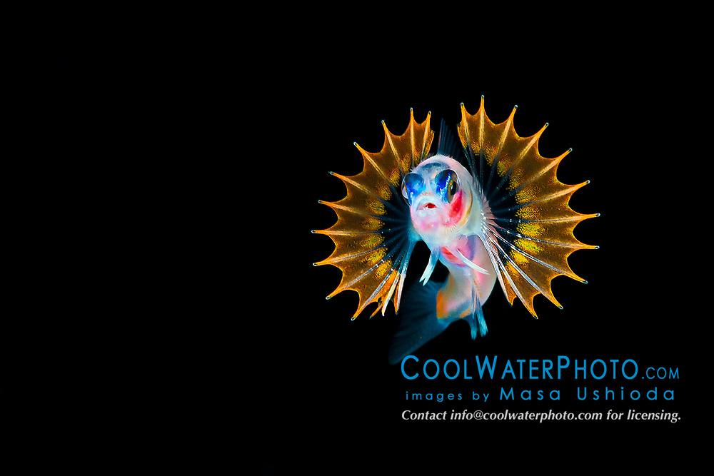 unidentified pelagic goby with fan like pectoral fins, offshore at night, Kona Coast, Big Island, Hawaii, USA, Pacific Ocean