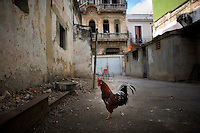 cuban rooster wandering streets