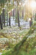 Winter day in lichen rich pine forests, near Vangaži, Vidzeme, Latvia Ⓒ Davis Ulands | davisulands.com