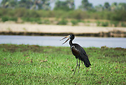 African openbill stork (Anastomus lamelligerus) photographed in Tanzania
