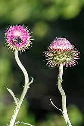Wildflowers, Great Trinity Forest, Dallas, Texas, USA