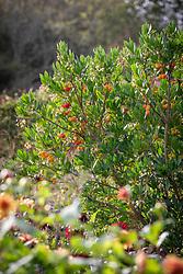 Arbutus unedo - Strawberry tree, Dalmatian strawberry <br /> Killarney strawberry, Cane apple