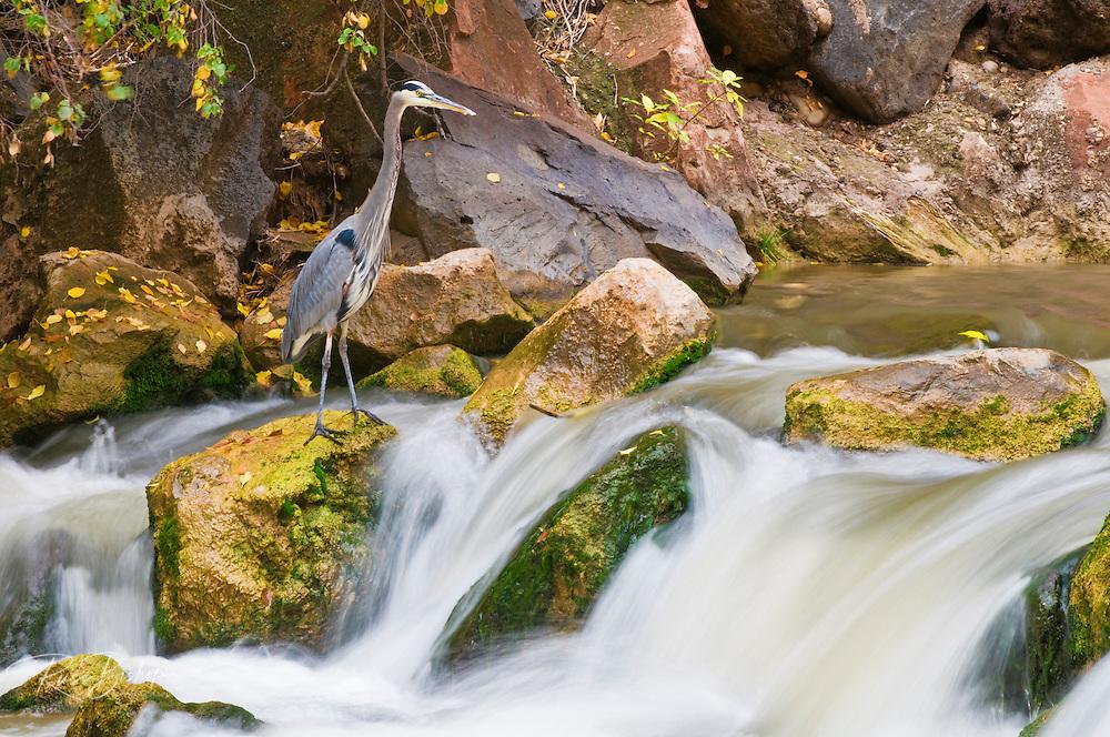 Great Blue Heron (Ardea herodias) in the Virgin River, Zion National Park, Utah