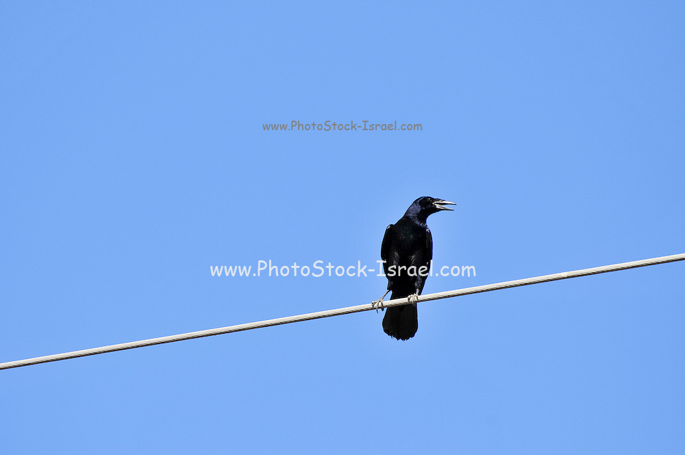 Rook (Corvus frugilegus pastinator). A member of the Corvidae family, this sub species is found in northern and central Asia. There is also a separate race of larger rooks in Europe. The birds are 45-47 cm in length, and feed mostly on earthworms and insect larvae. They have a raucous croaking call. A group of rooks is known as a 'parliament.' Photographed in the Hula Valley, Israel