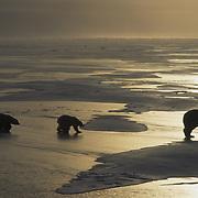 Polar bear (Ursus maritimus) mother and cubs on frozen Hudson Bay. Canada