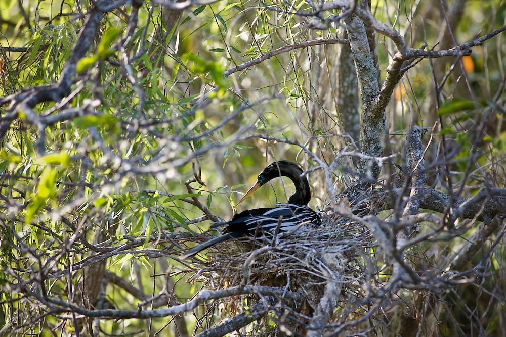Anhinga snakebird on nest, Everglades, Florida, United States of America