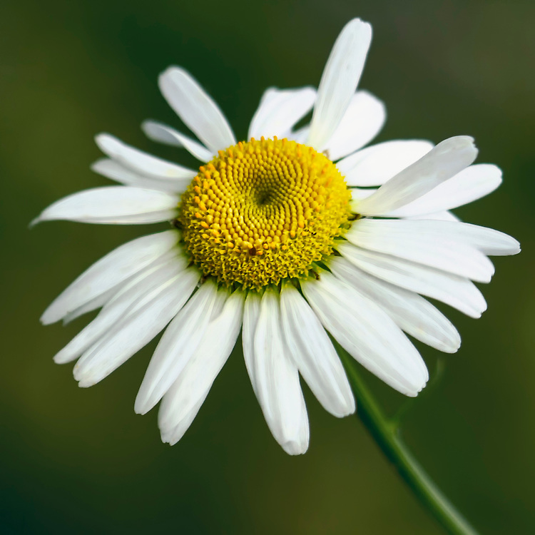 A Shasta Daisy Blows In The Wind