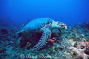 hawksbill sea turtle, Eretmochelys imbricata, Critically Endangered Species, Palm Beach, Florida ( Western Atlantic Ocean )