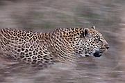 A leopard, Panthera pardus, running through tall grass.