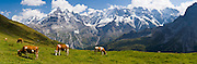 """Cows graze an alpine pasture in Sefinental across from Jungfrau mountain (13,600 feet) and the Lauterbrunnen Wall in Berner Oberland, Switzerland, the Alps, Europe. UNESCO lists """"Swiss Alps Jungfrau-Aletsch"""" as a World Heritage Area (2001, 2007). Panorama stitched from 4 images. Published in Ryder-Walker Alpine Adventures """"Inn to Inn Alpine Hiking Adventures"""" Catalog 2007-2009, 2011, 2012, 2013."""