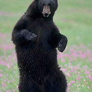 Black Bear, (Ursus americanus) In field of Shooting Star flowers. Spring. Montana.  Captive Animal.