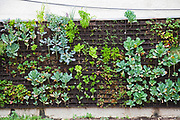 The Edible Garden wall created by Urban Farming for the Weingart Center on skid row in downtown Los Angeles. The vertical garden contains broccoli, cauliflower, strawberries, collared greens, beans, peppers and more and is tended by the organization Urban Farming and homeless volunteers form the Weingart Center. Los Angeles, California, USA