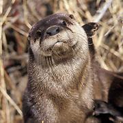 River Otter, (Lutra canadensis) Portrait. Captive Animal.