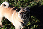 Alfie the pug