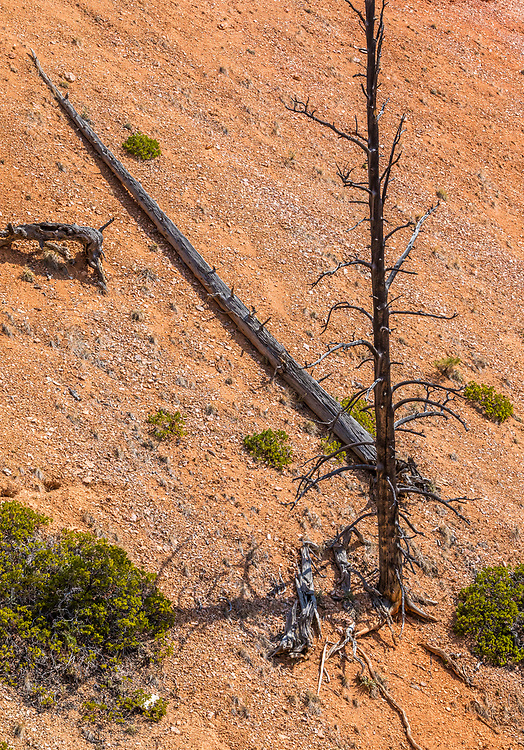 Dead trees, one standing and one fallen on the arid high desert hills of Bryce Canyon National Park, Utah, USA.
