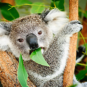 A koala sitting in a tree eating a gum leaf and looking directly at the camera.