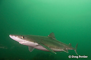 spiny dogfish, piked dogfish, spurdog, or dog shark, Squalus suckleyi (formerly Squalus acanthias ), showing<br /> mildly venomous spines in front of both dorsal fins, Quadra Island off Vancouver Island, British Columbia, Canada, ( North Pacific Ocean )