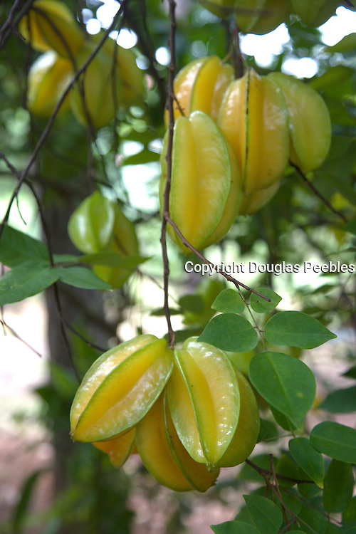 Starfruit, Vaipaee Community Botanical Garden, Ua Huka, Marquesas Islands, French Polynesia<br />