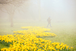 © Licensed to London News Pictures. 12/03/2016<br /> A man walk next to daffodils through heavy fog in Foots Cray Meadows in Sidcup, Kent this morning. Photo credit: Grant Falvey
