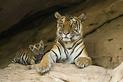 Bengal Tiger<br /> Panthera tigris <br /> Mother and 5 week old cub at den<br /> Bandhavgarh National Park, India