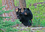 family of Black Bears (Ursus americanus) rests in the forest.  Yellowstone NP, Alaska