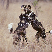 African Wild or Cape Hunting Dog, (Lycaon pictus) Trio play wrestling with each other. Kruger National Park. South Africa.