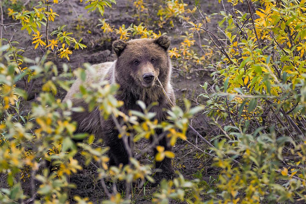 Alaska.  Yearling Brown Bear cub (Ursus arctos) near the Denali National Park road in August peering around willow shrubs.