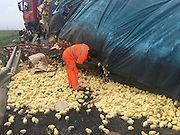BINZHOU, CHINA - AUGUST 25: (CHINA OUT) <br /> <br /> A rescuer works after the truck carrying tens of thousands of chicks, which are worth 50,000 yuan (7,800 USD), rolled over on Rongcheng-Wuhai Highway on August 25, 2015 in Binzhou, Shandong Province of China. <br /> ©Exclusivepix Media