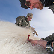 Steve Amstrup and Geoff York, USGS biologists, taking blood from an immobilized large male polar bear.
