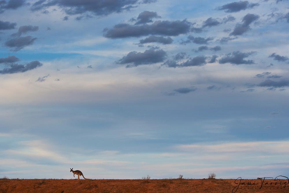 A small silhouette of a red kangaroo  (Macropus rufus) with dramatic desert sky,  Sturt Stony Desert,  Australia