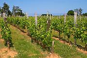 The vineyard with Merlot vines and grass between the rows Chateau de Pressac St Etienne de Lisse Saint Emilion Bordeaux Gironde Aquitaine France