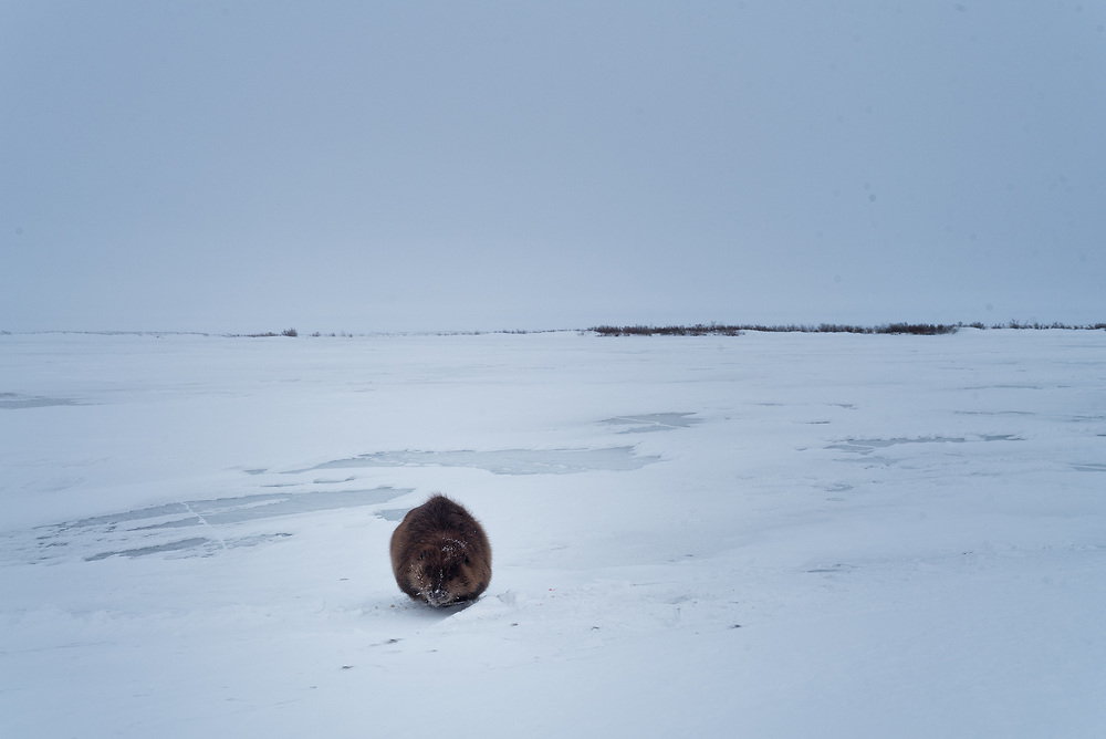 A beaver takes a break from being beneath the ice out on a frozen lake in interior Alaska.