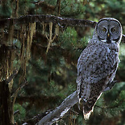 Great Gray Owl, (Strix nebulosa) Perched on tree limb in forest of Southwest Montana.