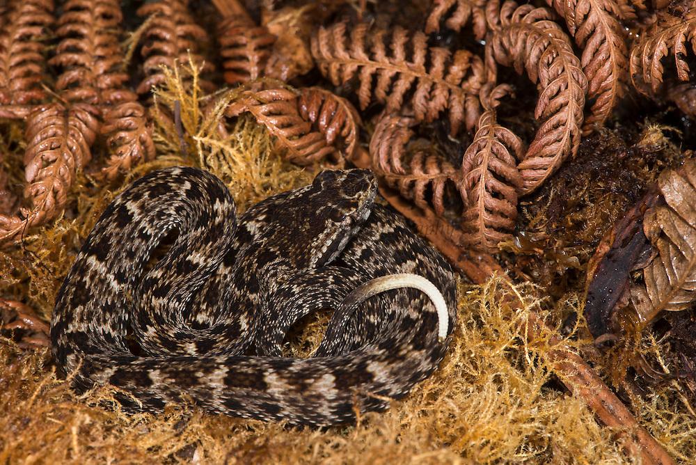 Fer-de-Lance (Bothrops atrox) juvenile<br /> Amazon<br /> ECUADOR<br /> Vivarium ID # 3616<br /> Captive
