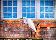 Egret in front of a house