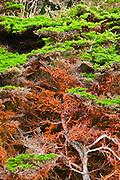 Cypress Tree (Cupressus macrocarpa) covered in green algae, Point Lobos State Reserve, Carmel, California