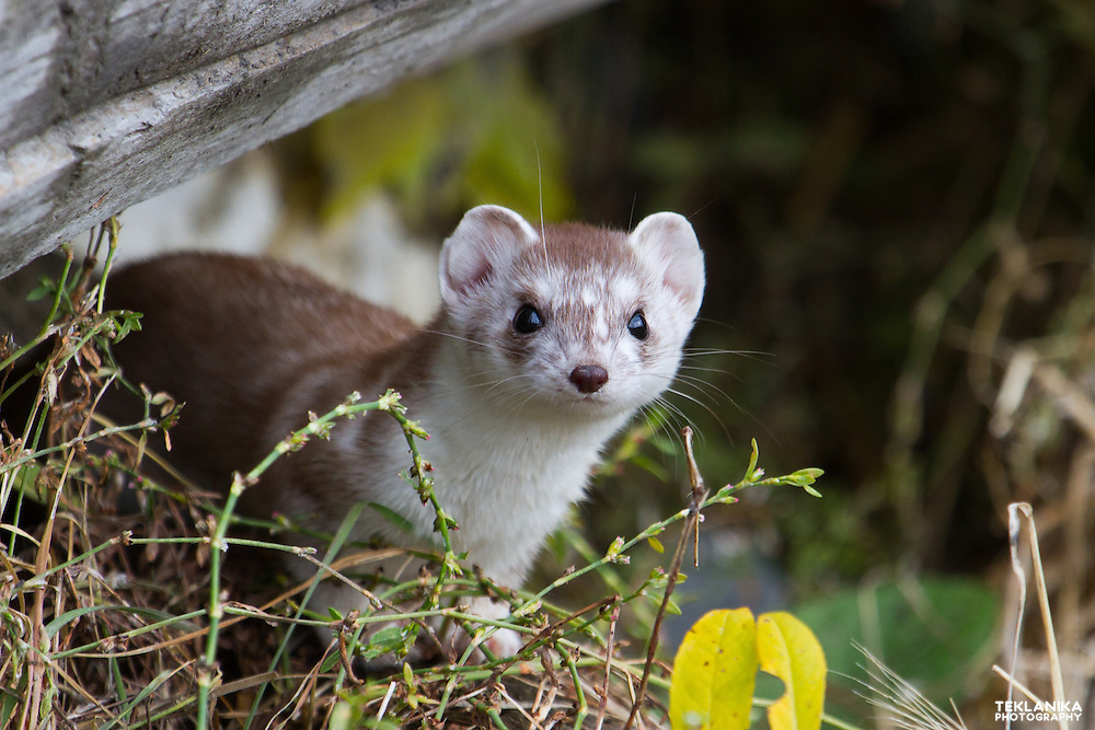 An ermine peers out from under a log.