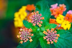 Texas lantana wildflowers (tentative id), Trinity River Audubon Center, Great Trinity Forest, Dallas, Texas, USA