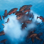 A bunch of twinspot snapper (Lutjanus bohar) rushing up to spawn, releasing a cloud of milky white sperm and eggs in the water column. Photographed in Palau.