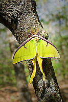 Perhaps the world's most popular and favorite moth, found here among the ravines and nameless creeks near the Aplalachicola River in North Florida.