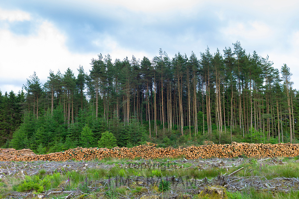 Conifers, Larch trees and stacks of logs in timber coniferous plantation at Galloway Forest Park, Carrick, Argyllshire, Western Scotland