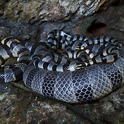 A pile of four or five venomous banded sea kraits (Laticauda colubrina) lounging on a shaded ledge located on a vertical rock face just above the splash zone of one of the Rock Islands in Nikko Bay. Sea kraits crawl up on the rocks from the sea to rest and perhaps to lay eggs, though no one has yet found sea krait eggs at any haul out site in Palau. There were several aggregations at this site, comprising perhaps up to 30 individuals in total.